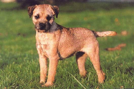 red terrier soft coated wheaten terrier kerry blue terrier terrier ...